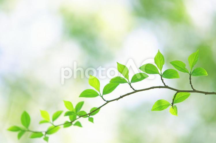 新緑の葉っぱ 若葉 エゴノキ の写真