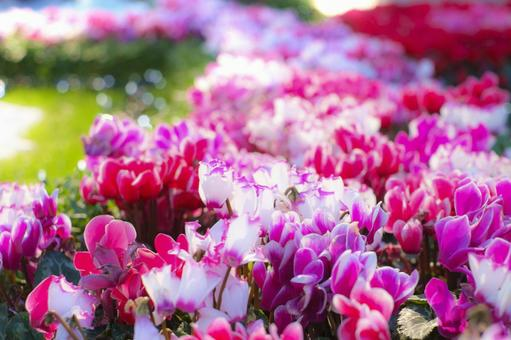 Various kinds of cyclamen are in full bloom