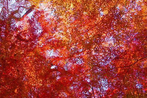 Autumn scarlet