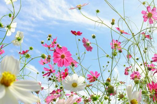 Cosmos and blue sky 4