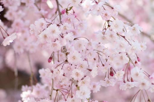 수양 벚나무 꽃 클로즈업