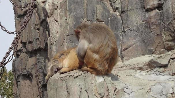 猴跳蚤去除