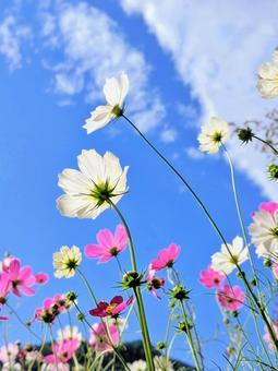 Energetic autumn cosmos blooming toward the blue sky