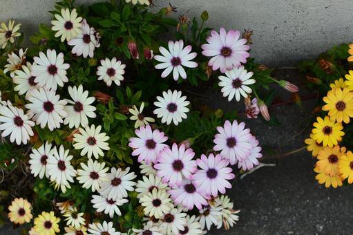 형형색색의 마가렛 꽃