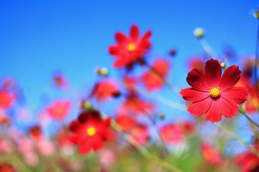 Fall cosmos field and blue sky