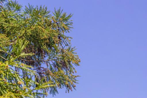 Cedar pollen 3