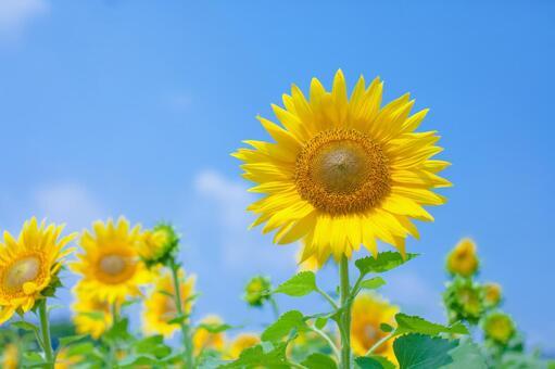 Sunflower field 72