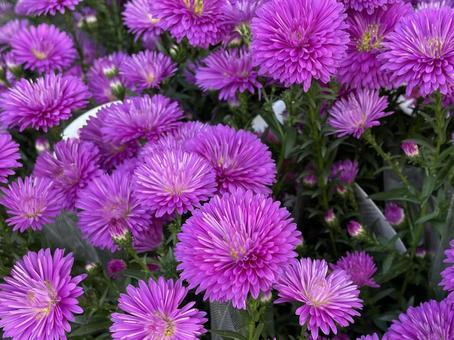 Flower / aster