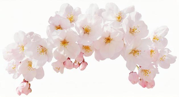 Cherry blossoms (PSD enters the background transparent / cut-out pass)