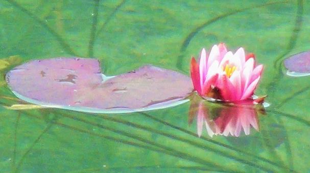 모네의 연못의 꽃