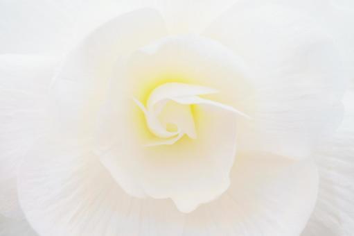 White flower up background begonia