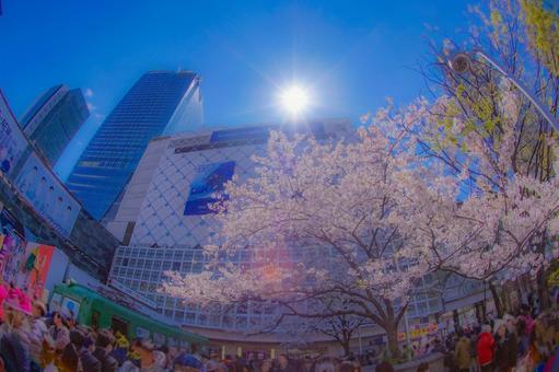 시부야의 벚꽃과 푸른 하늘