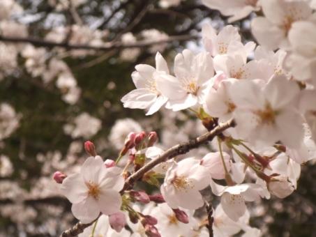 바람에 휘날리는 벚꽃