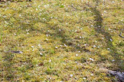 Cherry blossom petals falling on the lawn 3