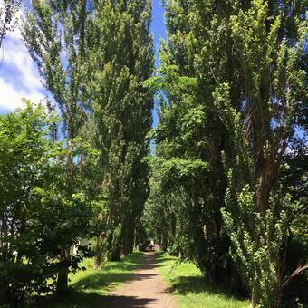 Hokkaido University poplar trees