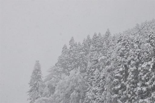 Snow falling on conifers