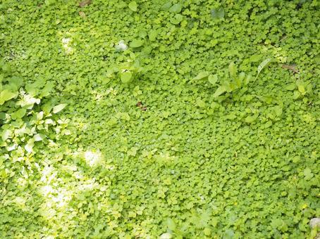 Wildflowers_Sueyoshi Park (Shuri, Naha City, Okinawa Prefecture)