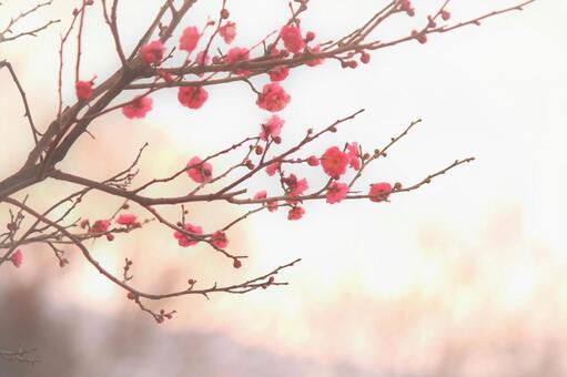Fluffy red plum