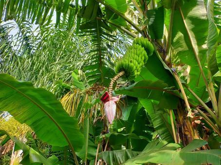 Seychelles banana and banana heart