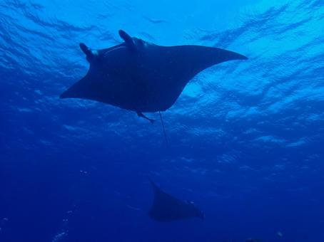Ishigaki Island Manta Ray Scramble