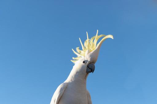 澳大利亞基巴丹野鳥英文名稱Cockatoo早晨的藍天和一隻鸚鵡5