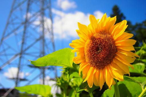 Sunflower field and steel tower