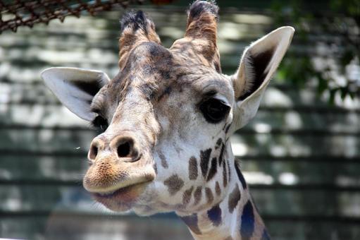 Where giraffe looks