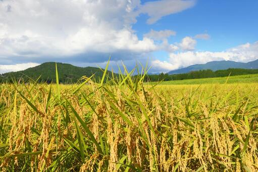 Fall of rice cultivation 2
