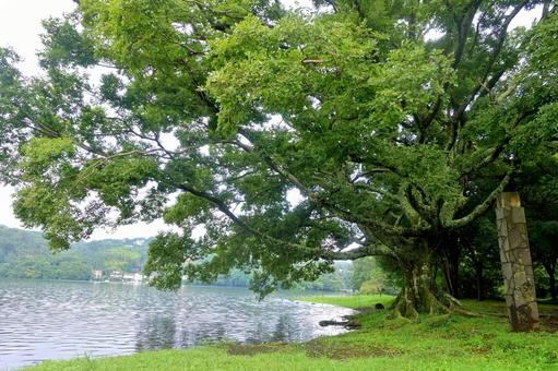 Summer scenery Enoki Fleeting Lake Ippeki Izu no Hitomi Reflection Ripples Fresh green