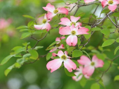 Dogwood flower water tree pink flower