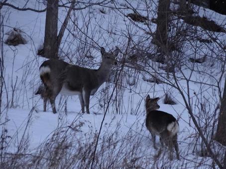 겨울 에조 사슴 2