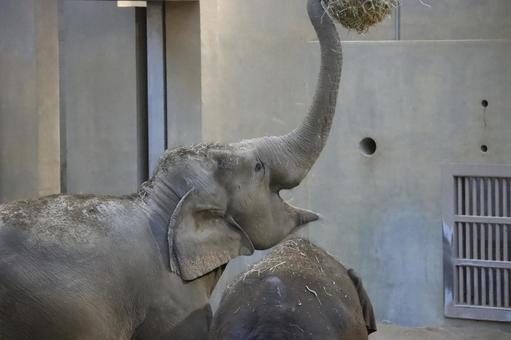Elephant playing indoors Maruyama Zoo