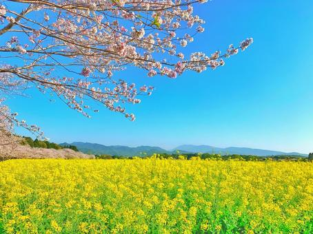 Rape field and cherry blossoms