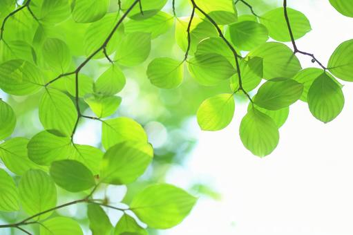 Fresh green leaves Young leaves Hanamizuki
