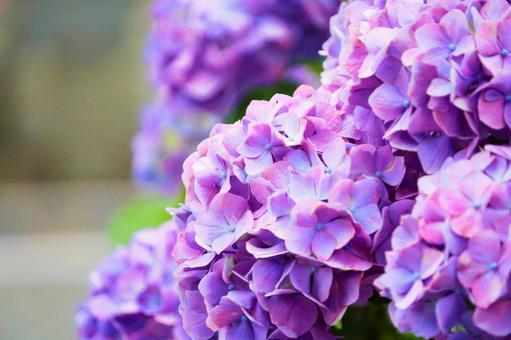 Mokomoko purple hydrangea
