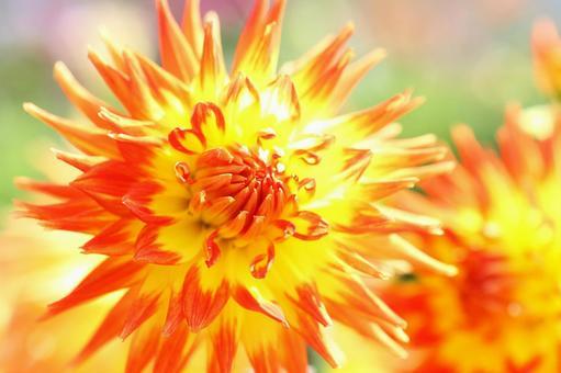Dahlia orange blossom