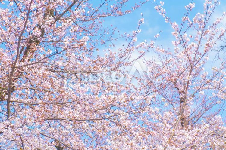 青空と桜の写真