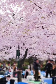 Cherry-blossom viewing venue