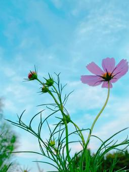 Pink cosmos and blue sky