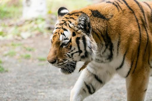 Tiger · Amur Tora