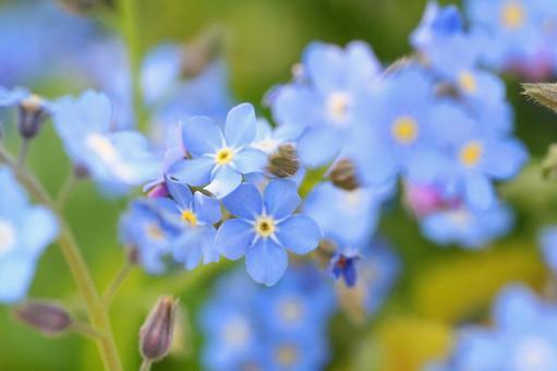 물망초 물망초 물망초 원예 꽃 푸른 꽃 4 월 봄 화단 카야 꽃 축제