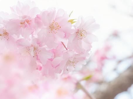 털이 분홍색 벚꽃 만개