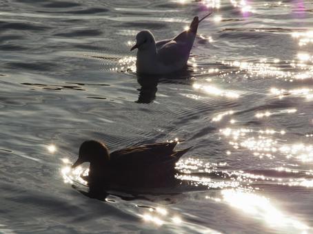 Swimming bird 1