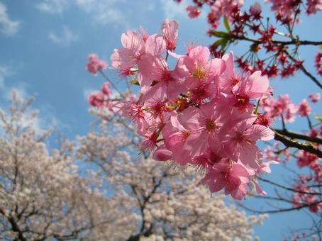 Sakura _ Sakura