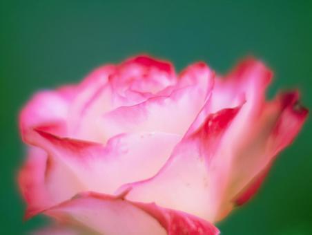 빨간 테두리의 장미 꽃잎