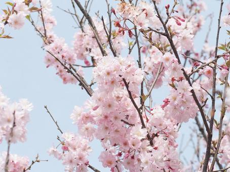 핑크 카와 벚꽃과 푸른 하늘