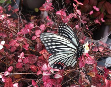 핑크 호랑 나비와 첫눈 카즈 라