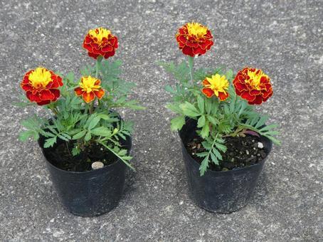 Marigold flower seedlings 2 pots