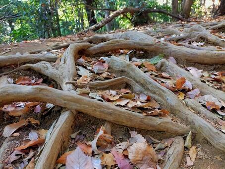 Mt. Takao Trail Inariyama Course Tree Root