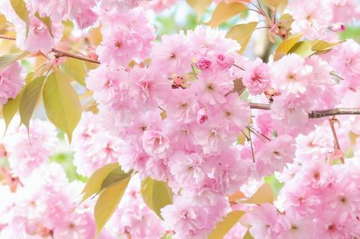 Sakura double cherry blossom